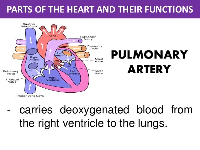 Parts of the heart and their functions 5 638gcb1467375872 parts of the heart and their functions pulmonary artery carries deoxygenated blood from the right ccuart Images