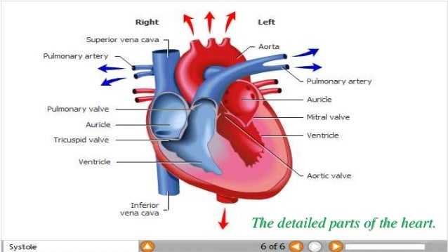 detailed parts of the heart (the circulatory system), Human body