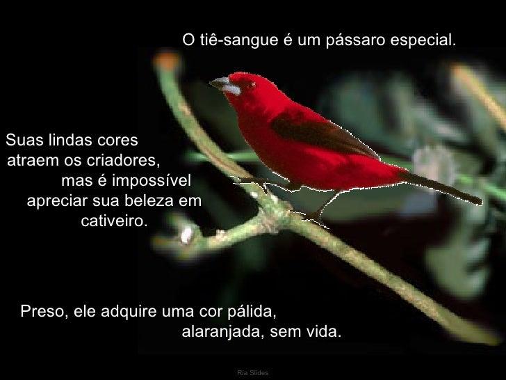 O tiê-sangue é um pássaro especial.Suas lindas coresatraem os criadores,        mas é impossível   apreciar sua beleza em ...