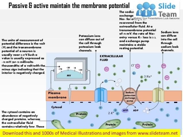 Passive and active fluxes maintain the resting membrane potential med…