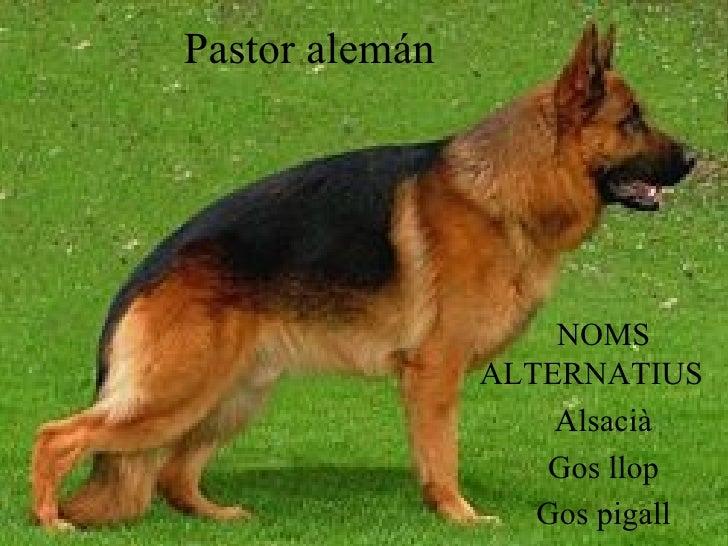Pastor alemán NOMS ALTERNATIUS  Alsacià Gos llop Gos pigall