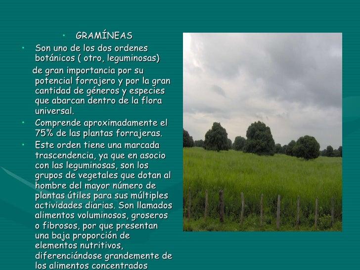 <ul><li>GRAMÍNEAS </li></ul><ul><li>Son uno de los dos ordenes botánicos ( otro, leguminosas) </li></ul><ul><li>de gran im...
