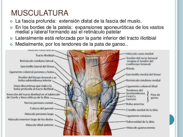 Lujoso Retináculo Medial Imágenes - Anatomía de Las Imágenesdel ...