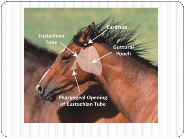 Path 11 respiratory illanes guttural pouch tympany in a foal 37 strangles streptococcus equi lymph node ccuart Choice Image