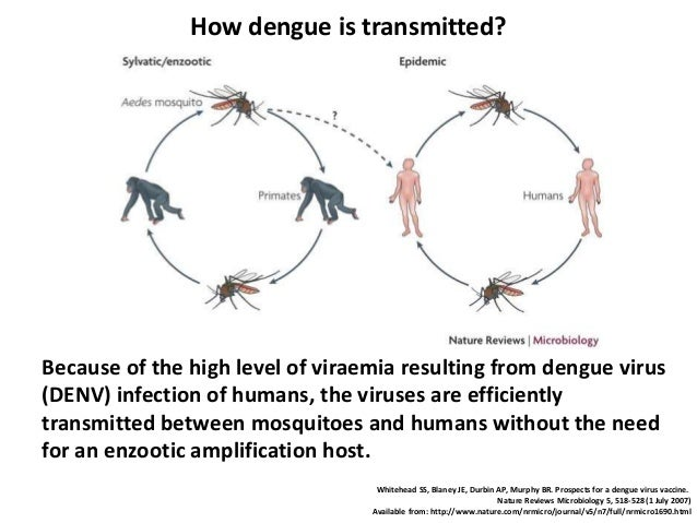 pathobiology of dengue virus infection