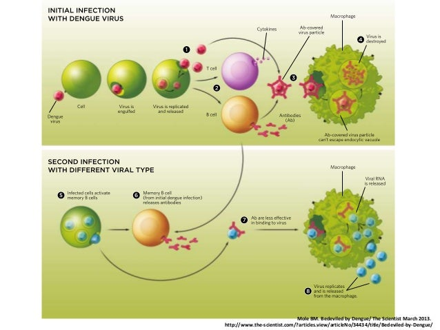 Prospects For A Dengue Virus Vaccine Nature Reviews Microbiology
