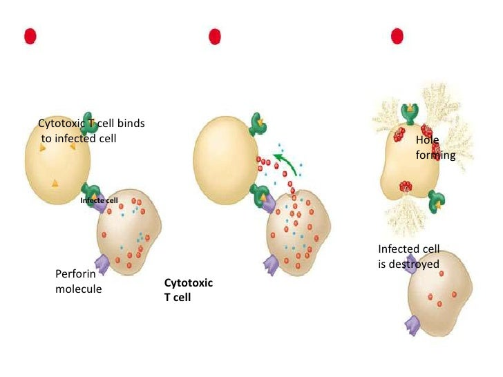 Helper and Killer T Cells<br />More and more helper T cells circulate in the body hunting for diseased or infected cells b...
