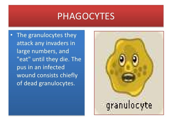 """PHAGOCYTES<br />The granulocytes they attack any invaders in large numbers, and """"eat"""" until they die. The pus in an infect..."""