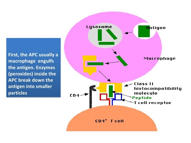 First, the APC usually a macrophage  engulfs the antigen. Enzymes (peroxides) inside the APC break down the antigen into s...
