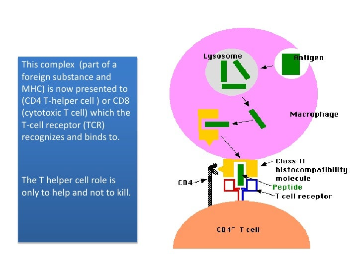 This complex  (part of a foreign substance and MHC) is now presented to (CD4 T-helper cell ) or CD8 (cytotoxic T cell) whi...