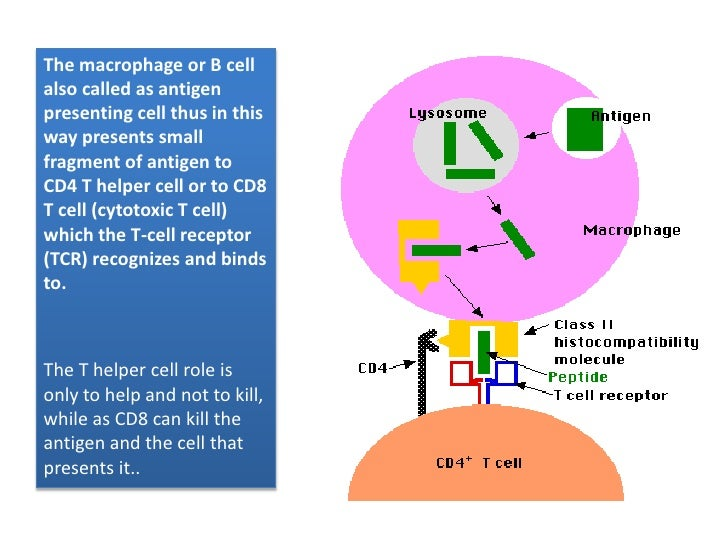 The macrophage or B cell also called as antigen presenting cell thus in this way presents small fragment of antigen to CD4...
