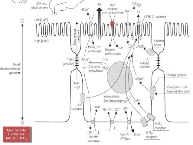 Pathophysiology of diarrhea