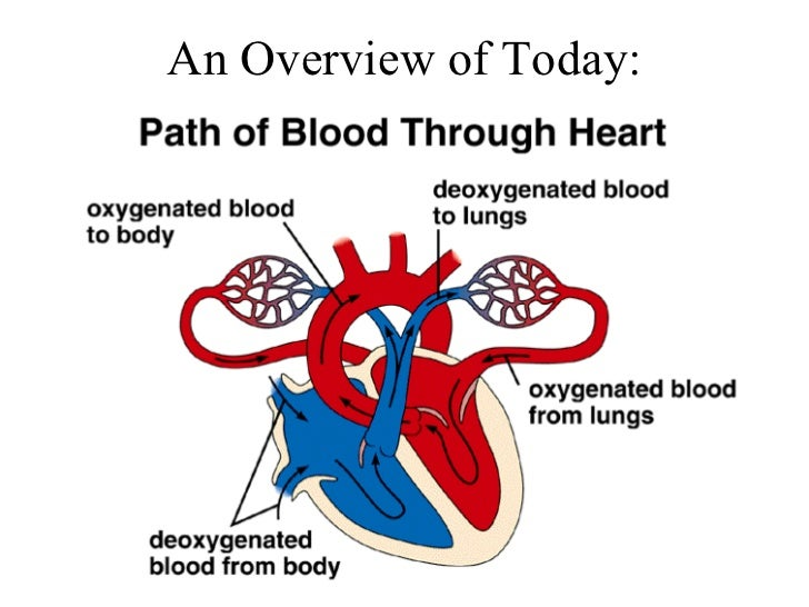 Heart Diagram Blood Flow Oxygenated And Deoxygenated ~ DIAGRAM