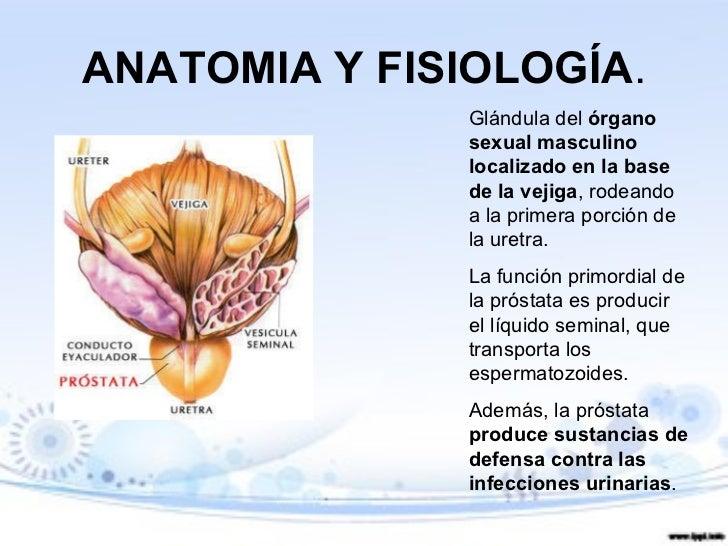 Atractivo La Anatomía Y La Fisiología De Próstata Bandera - Anatomía ...