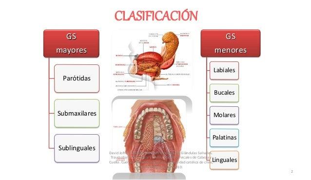 Embriología CLASIFICACIÓN GS mayores Parótidas Submaxilares Sublinguales GS menores Labiales Bucales Molares Palatinas Lin...