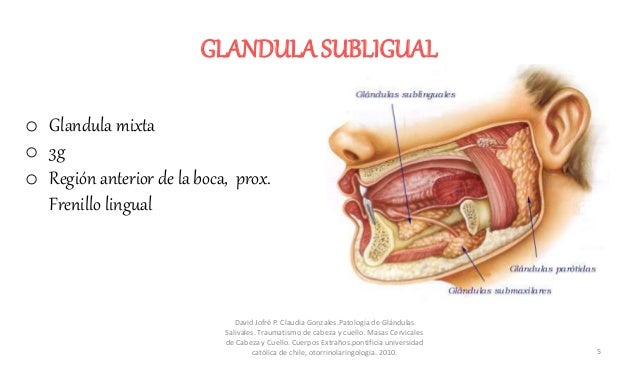 GLANDULA SUBLIGUAL o Glandula mixta o 3g o Región anterior de la boca, prox. Frenillo lingual David Jofré P. Claudia Gonza...