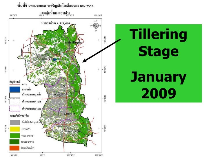 Tillering Stage January 2009