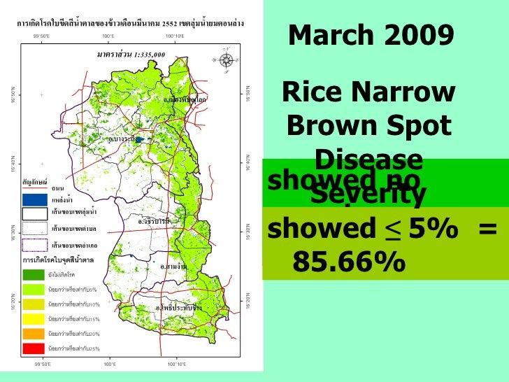 March 2009 showed no symptom  = 14.84% showed  ≤  5%  =  85.66% Rice Narrow Brown Spot   Disease Severity