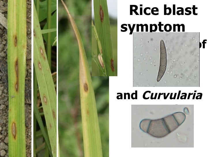 Rice blast symptom  Caused of  Biporalis oryzae and  Curvularia lunata )