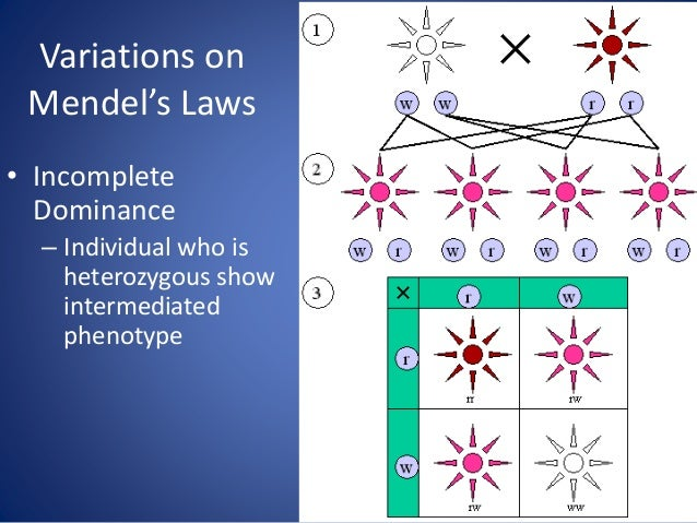 Variations on Mendel's Laws • Pleiotropy – One gene has many effects Sickle-cells can cause many problems in a person's li...