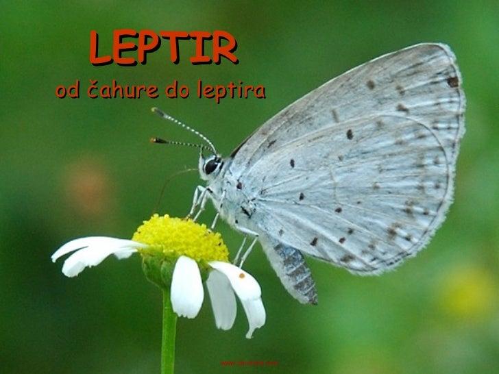 LEPTIR od čahure do leptira www.zbornica.com