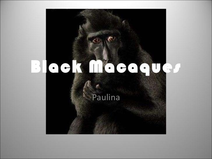Black Macaques Paulina
