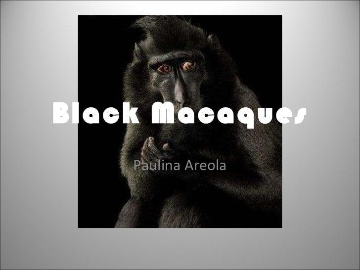 Black Macaques Paulina Areola