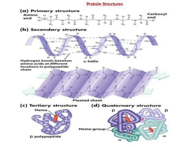 Protein structure by P... Linus Pauling Nobel Prize