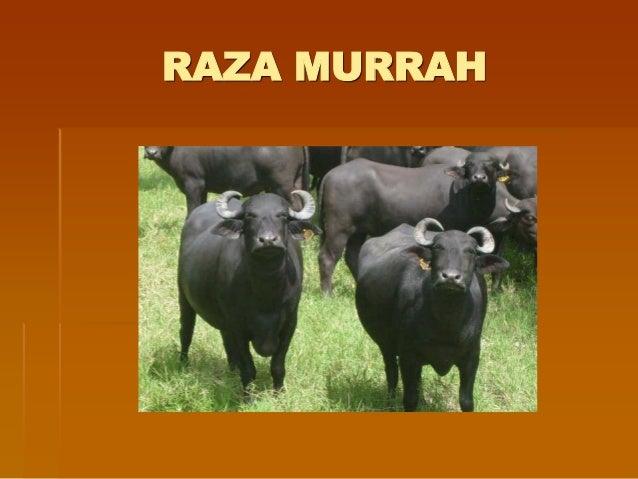 Pautas para alimentacion del bufalo de agua