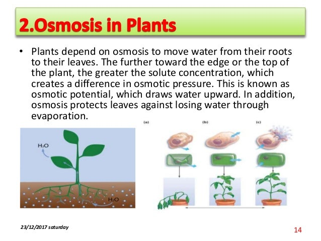 Why do plants need minerals? - SliderBase |Osmosis In Plant Roots