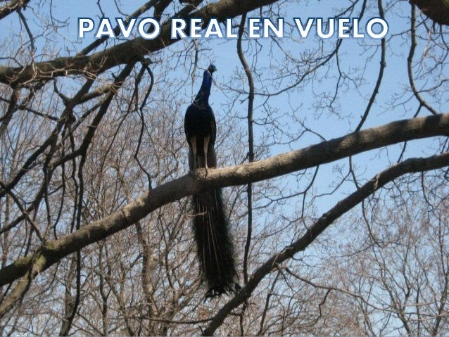 ¿Alguna vez¿Alguna vez has visto unhas visto un pavo real enpavo real en pleno vuelo?...pleno vuelo?... Si no, ésta esSi n...