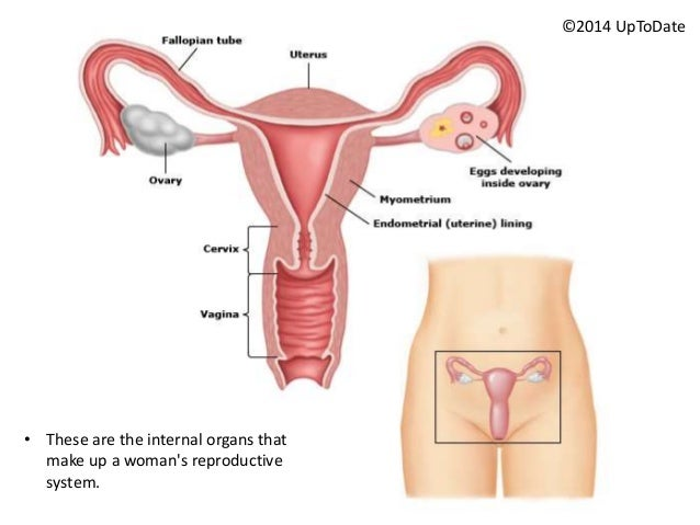 Female Reproductive System Diagram While Pregnant - DIY Enthusiasts ...