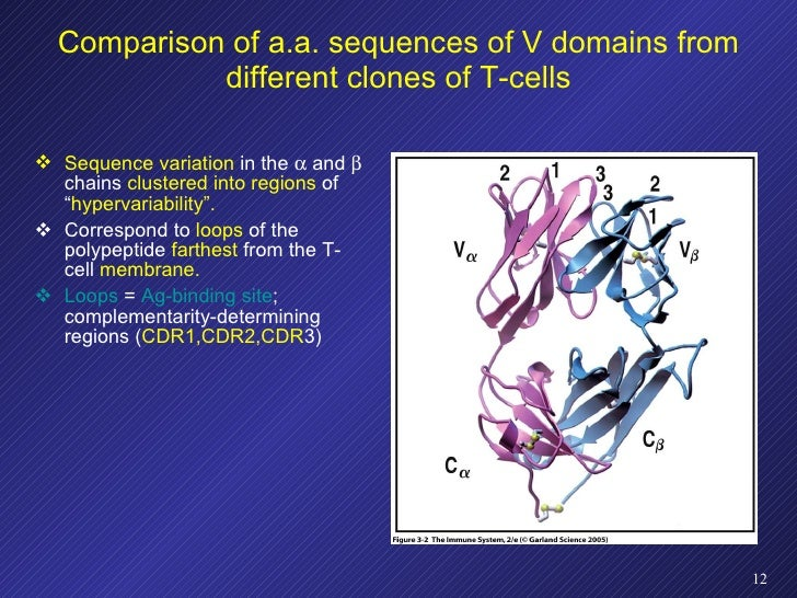 Comparison of a.a. sequences of V domains from different clones of T-cells <ul><li>Sequence variation  in the    and    ...