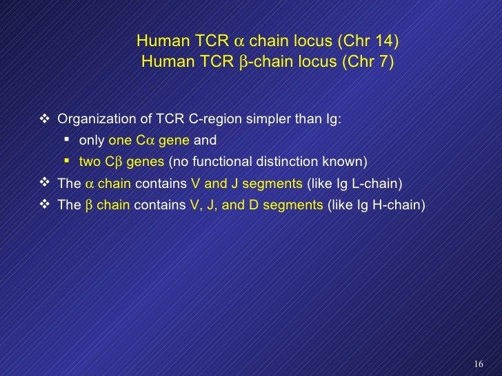Human TCR    chain locus (Chr 14) Human TCR   -chain locus (Chr 7) <ul><li>Organization of TCR C-region simpler than Ig:...