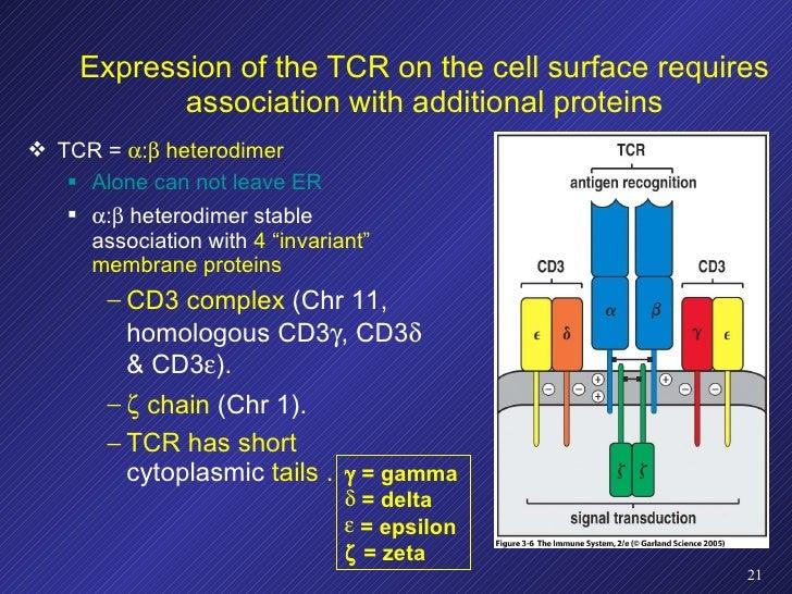 <ul><li>TCR =   :   heterodimer </li></ul><ul><ul><li>Alone can not leave ER </li></ul></ul><ul><ul><li> :   heterodim...