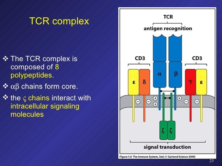 TCR complex <ul><li>The TCR complex is composed of  8 polypeptides . </li></ul><ul><li>   chains form core. </li></ul><u...