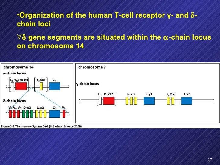 <ul><li>Organization of the human T-cell receptor  γ - and   -chain loci </li></ul><ul><li>   gene segments are situated...