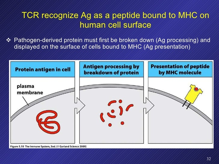 TCR recognize Ag as a peptide bound to MHC on human cell surface <ul><li>Pathogen-derived protein must first be broken dow...