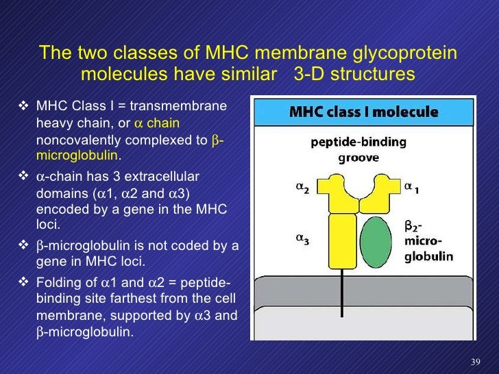 The two classes of MHC membrane glycoprotein molecules have similar  3-D structures <ul><li>MHC Class I = transmembrane  h...