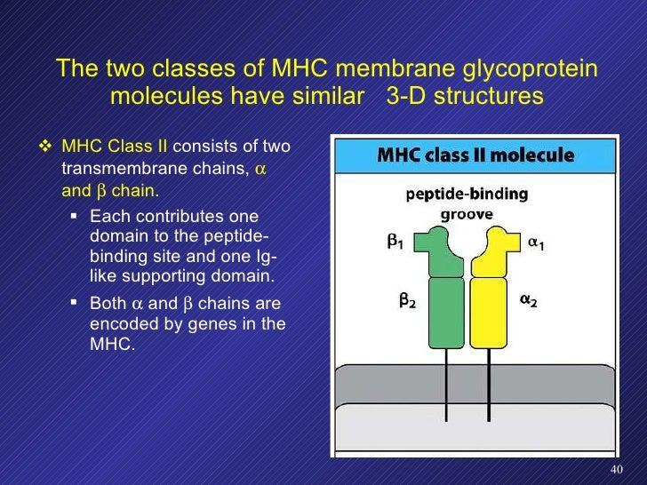 <ul><li>MHC Class II  consists of two transmembrane chains,    and    chain . </li></ul><ul><ul><li>Each contributes one...