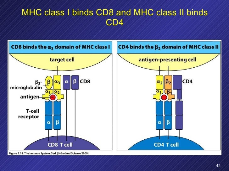 MHC class I binds CD8 and MHC class II binds CD4