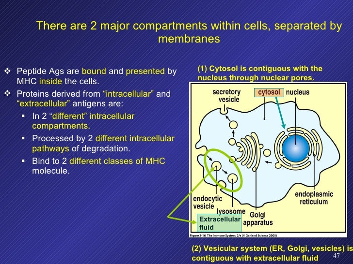 There are 2 major compartments within cells, separated by membranes <ul><li>Peptide Ags are  bound  and  presented  by MHC...