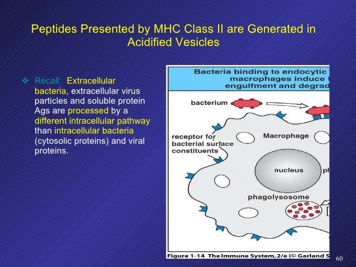 Peptides Presented by MHC Class II are Generated in Acidified Vesicles <ul><li>Recall:   Extracellular bacteria , extracel...
