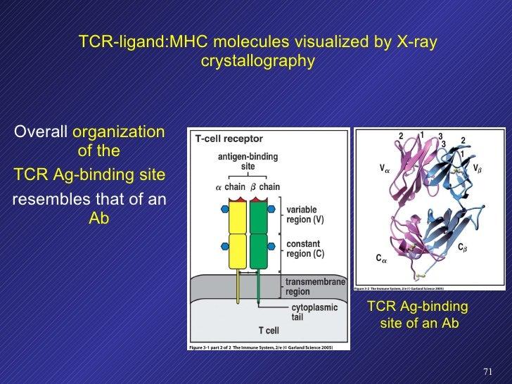 TCR-ligand:MHC molecules visualized by X-ray crystallography <ul><li>Overall  organization of the </li></ul><ul><li>TCR Ag...