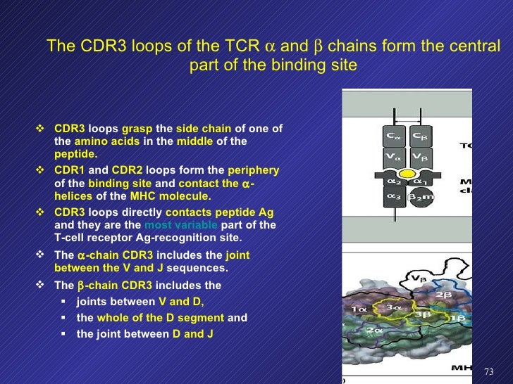 The CDR3 loops of the TCR    and    chains form the central part of the binding site <ul><li>CDR3  loops  grasp  the  si...