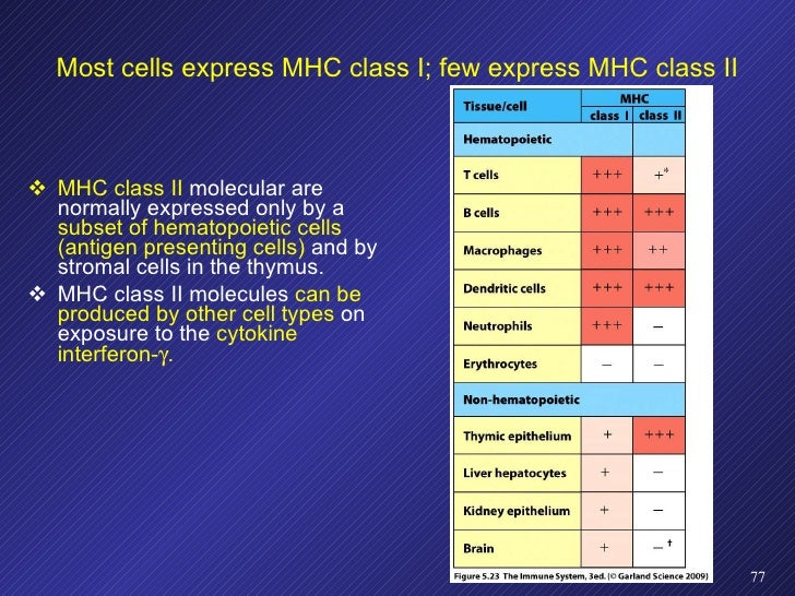 Most cells express MHC class I; few express MHC class II <ul><li>MHC class II  molecular are normally expressed only by a ...