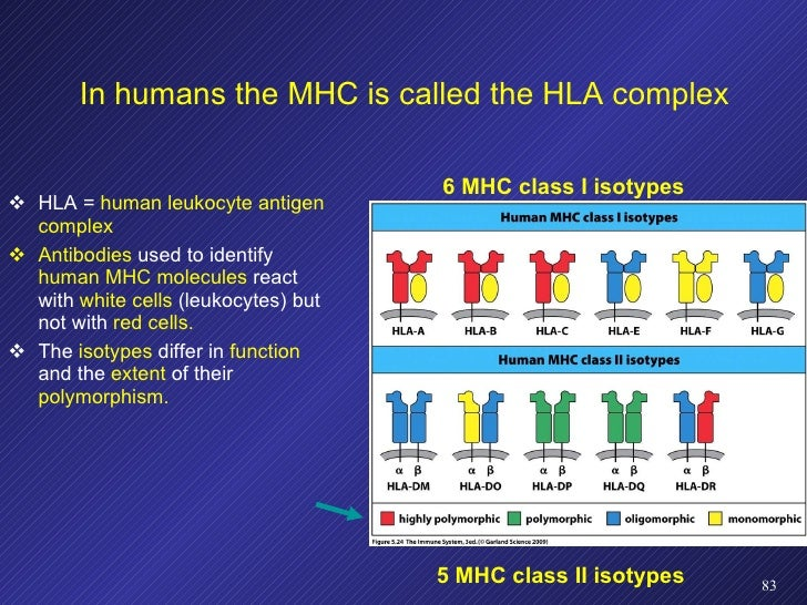 In humans the MHC is called the HLA complex <ul><li>HLA =  human leukocyte antigen complex </li></ul><ul><li>Antibodies  u...