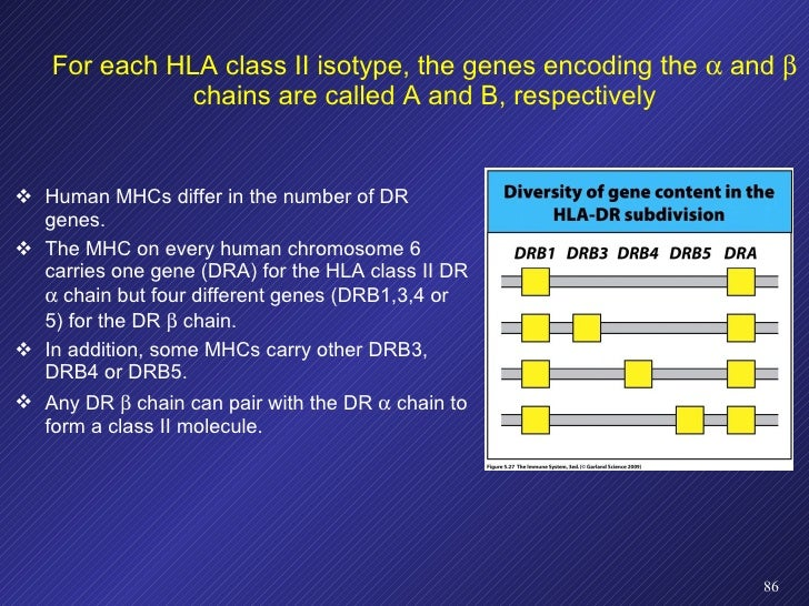For each HLA class II isotype, the genes encoding the    and    chains are called A and B, respectively <ul><li>Human MH...