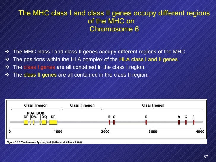 <ul><li>The MHC class I and class II genes occupy different regions of the MHC. </li></ul><ul><li>The positions within the...