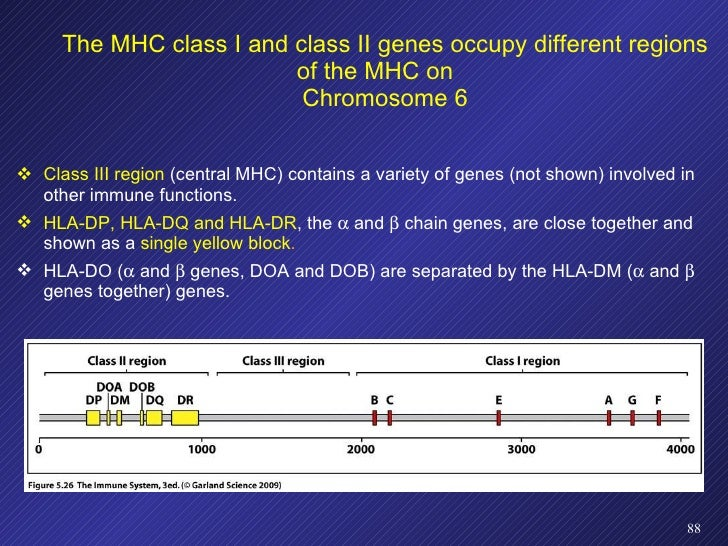 <ul><li>Class III region  (central MHC) contains a variety of genes (not shown) involved in other immune functions. </li><...
